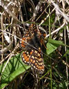 Marsh Fritillary in Ennerdale (2 of 4)