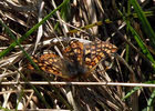 Marsh Fritillary in Ennerdale (3 of 4)
