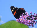 Red Admiral, Staffordshire (4 of 4)