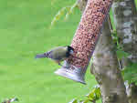 Back view of Coal Tit on Feeder
