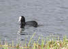 Swimming Coot