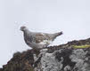Female Ptarmigan on Ben Wyvis (2 of 3)