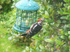 Greater Spotted Woodpecker on Feeder