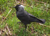 Jackdaw on Ground (1 of 2)