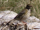 Meadow Pipit on Esk Pike (2 of 2)