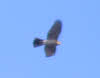 Male Sparrowhawk in Flight (2 of 2)
