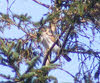 Male Sparrowhawk in Tree (1 of 2)